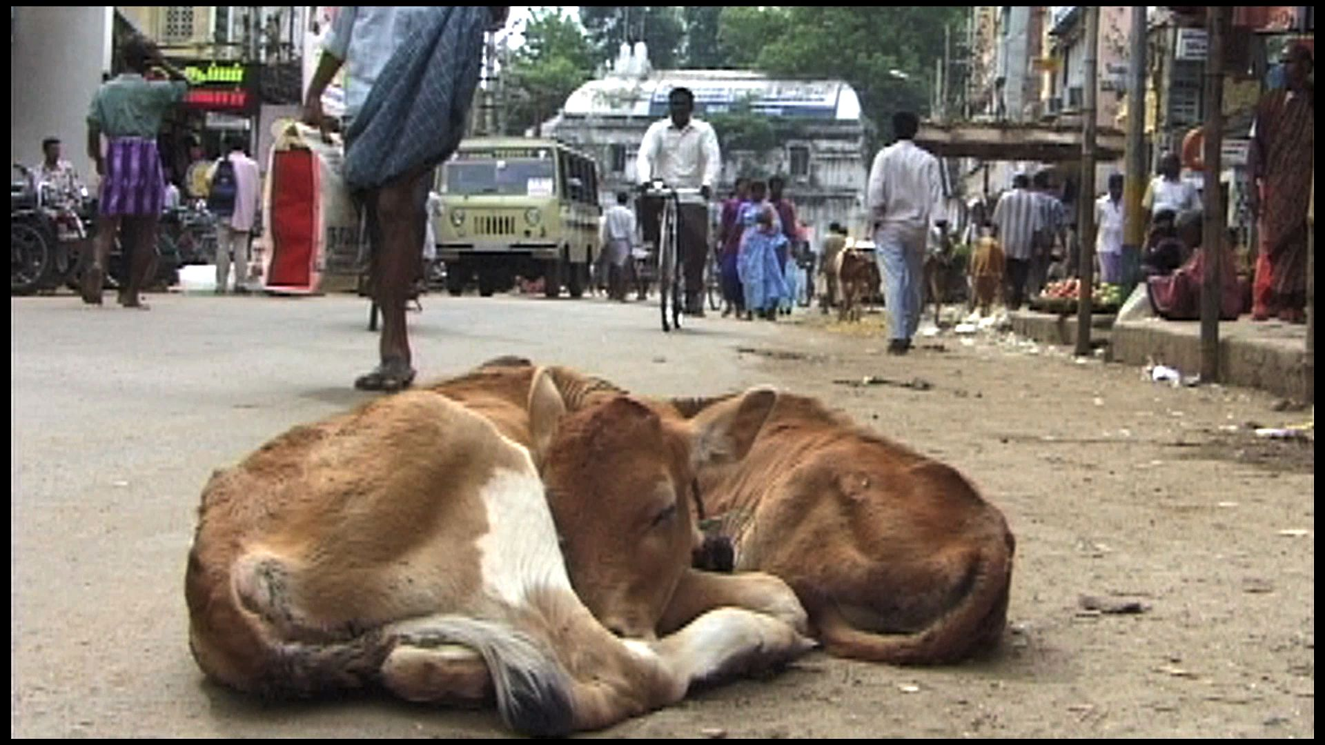 two calfs sleeping in the street